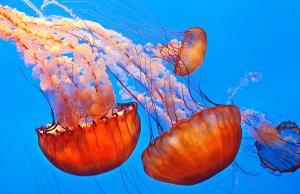 jelly-fish-jill-buschlen
