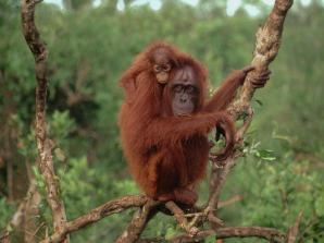 Bornean orang-utan (Pongo pygmaeus); Tanjung Puting National Park, South Kalimantan (K. Selatan), Kalimantan (Indonesian Borneo), Indonesia